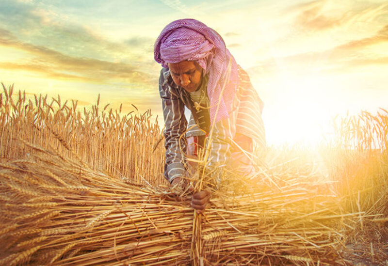 Wheat crops in India