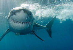 Man killed by shark attack in Australia