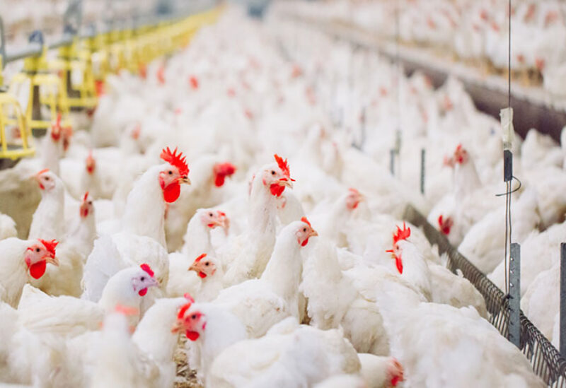 Poultry producers in Lebanon suffering from high production cost due to the fluctuation of dollar on the black market