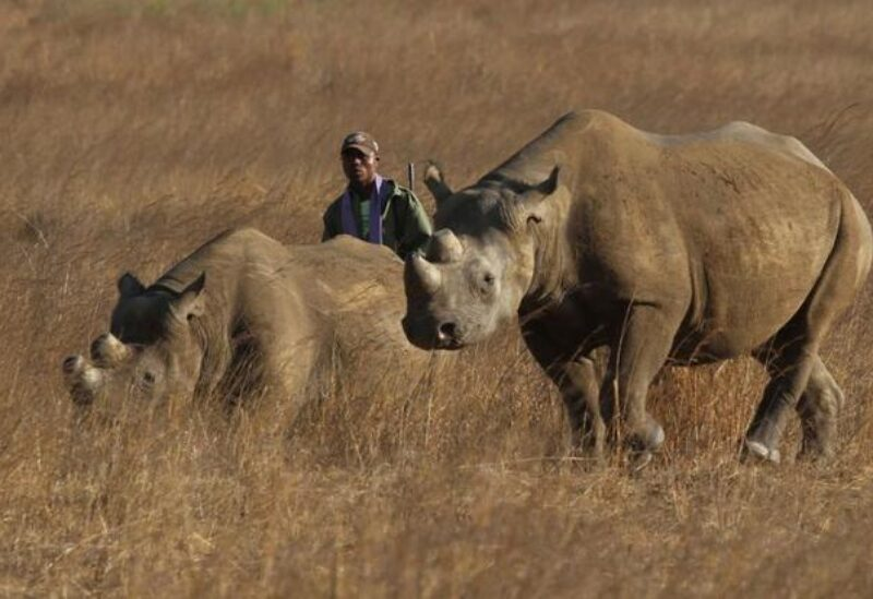 A ranger walks behind a pair of black rhinoceros at the Imire Rhino and Wildlife Conservation Park near Marondera, east of the capital Harare, September 22, 2014. REUTERS