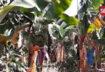 Banana land in Saida