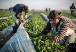 Farm produce in Gaza