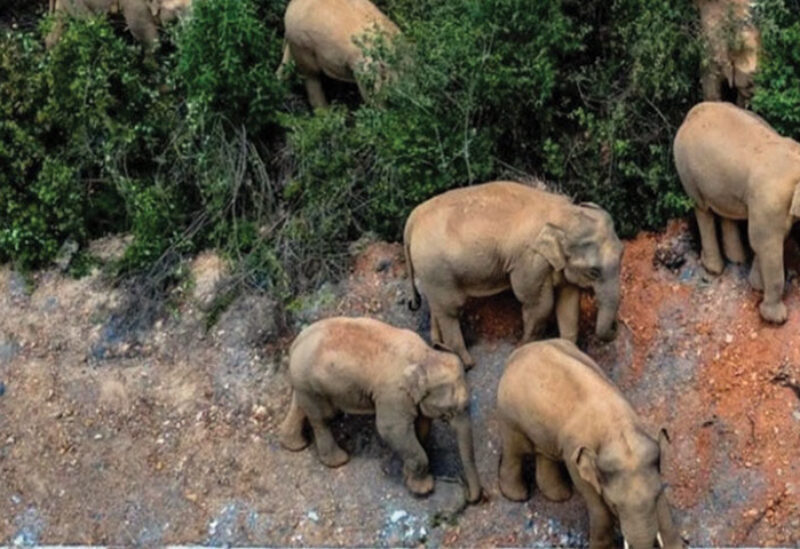 Herd of Elephants in China