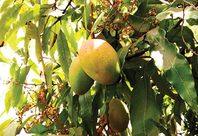 Mango crops in Saudi Arabia