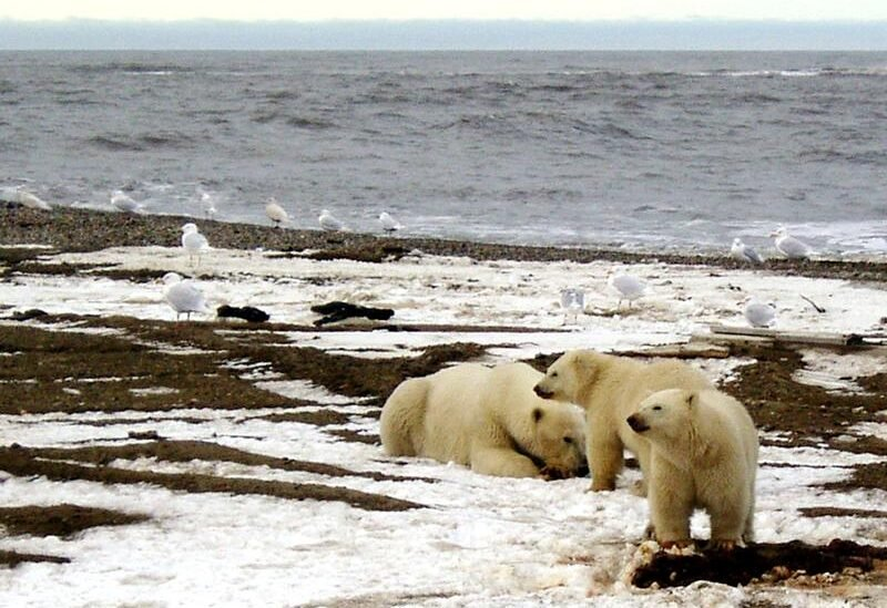 A polar bear sow and two cubs are seen on the Beaufort Sea coast within the 1002 Area of the Arctic National Wildlife Refuge in this undated handout photo provided by the U.S. Fish and Wildlife Service Alaska Image Library on December 21, 2005. REUTERS